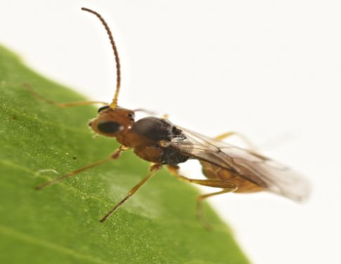 Irish Wasp v. the Clover Root Weevil